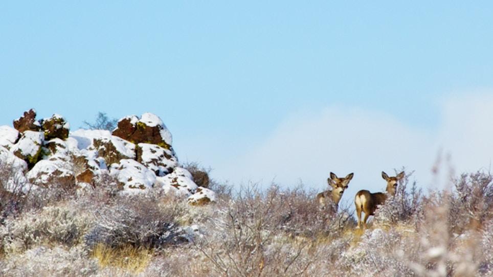 Deer In Yakima Area Struggling To Survive