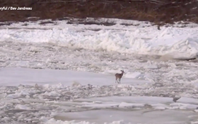Q&A: How Does This Deer Survive Floating Down a River on an Ice Sheet?