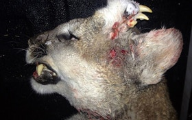 Hunter Shoots Cougar with Fangs Growing out of its Head