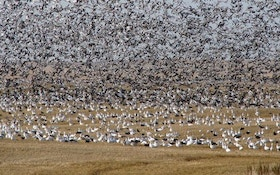 Top Ten Spring Snow Goose Hunting Tips