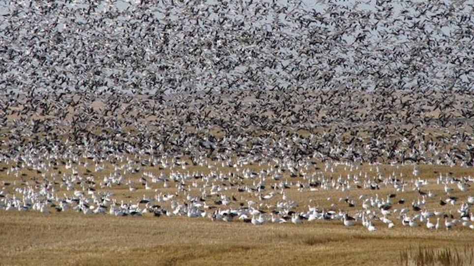 Top Ten Spring Snow Goose Hunting Tips