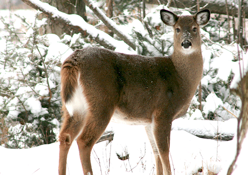An overabundance of deer can deplete available food, creating a cycle of declining habitat. The worse the habitat, the less healthy your deer will be. Photo: Vermont Fish and Wildlife Department