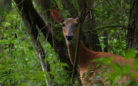 How To Hunt Doe Bedding Areas