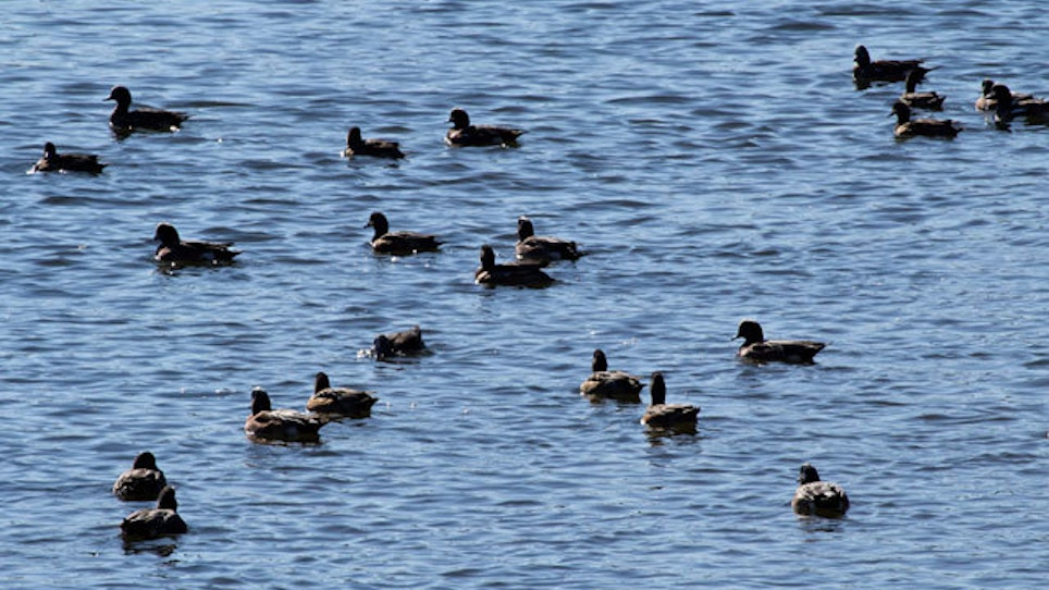 Tests On Ducks Could Provide Early Warning On Bird Flu