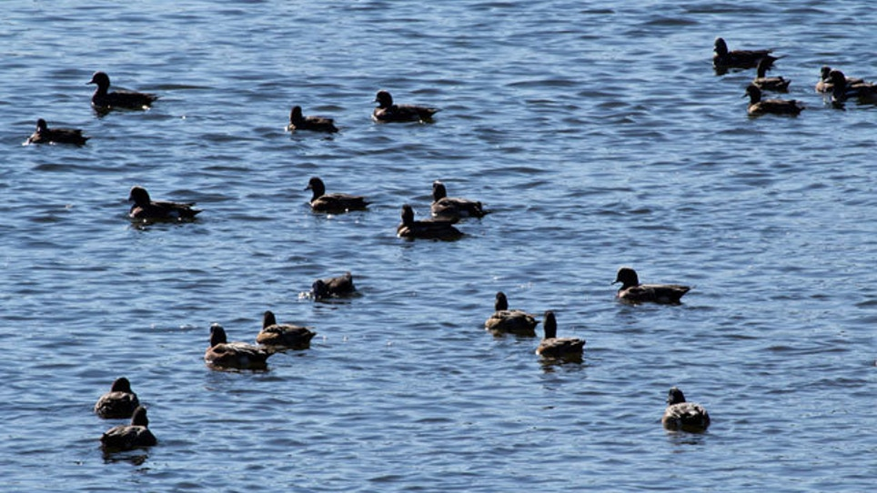 North Dakota Survey Shows It's Shaping Up To Be A Great Year For Ducks