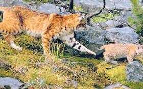 For Better Hunting, Don't Shoot The Female Bobcat