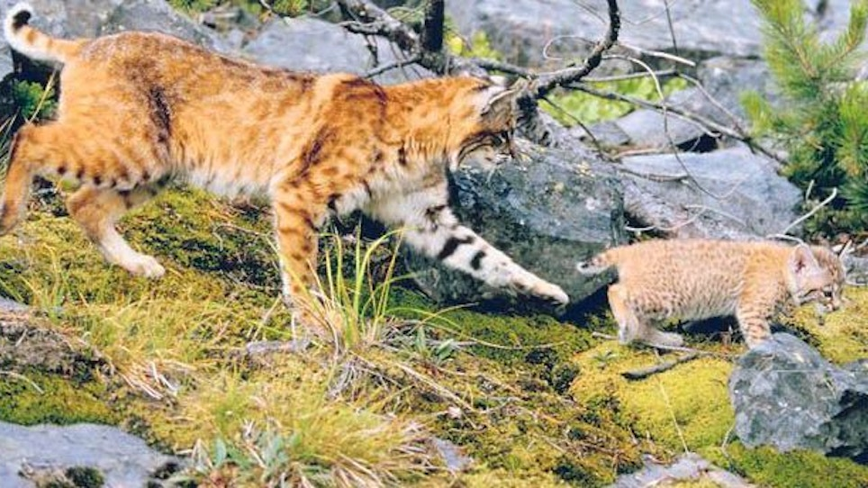 For Better Hunting, Don't Shoot The Female Bobcat