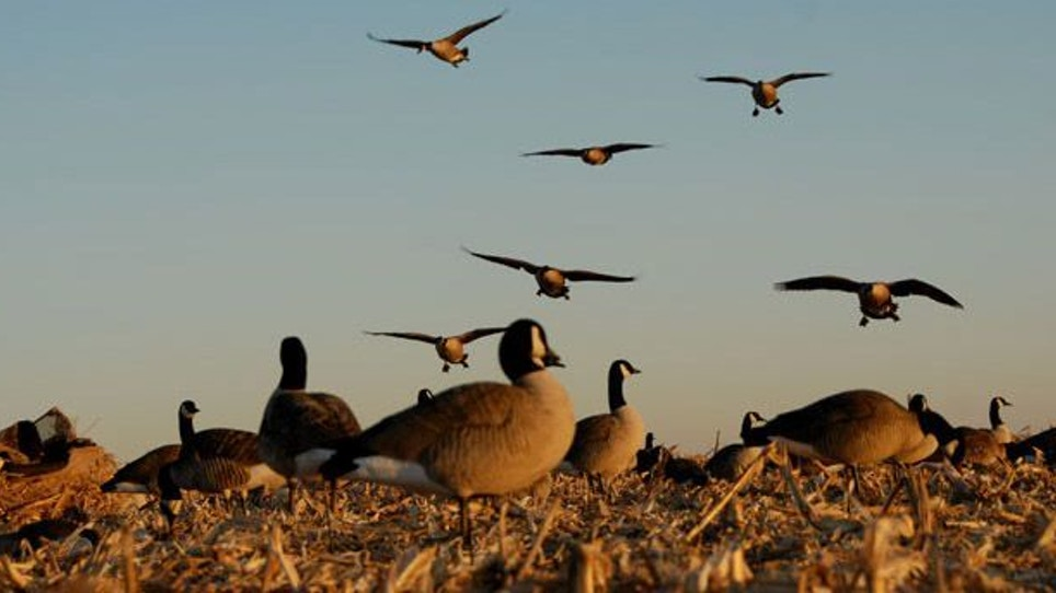 How to Hunt the Toughest Geese