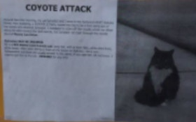 Coyote Attacks Cat, Owner Fights Back