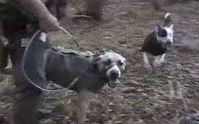 VIDEO: Wild hog hunting with dogs in south Alabama