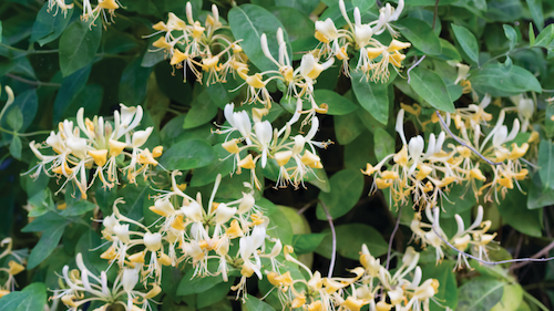 Some non-native, invasive plants are consumed by whitetail deer. Japanese honeysuckle, a vine with fragrant flowers that grows along field edges throughout the U.S., is high in protein and readily digestible. Photo: iStock/Anneke DeBlok