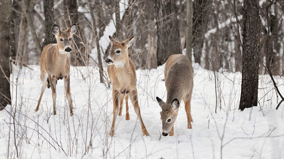 Record Snowfalls Expected to Increase Whitetail Deer Mortality