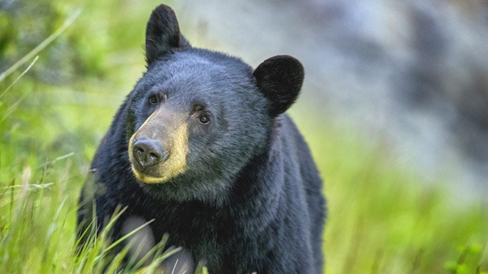Pennsylvania Yields High Black Bear Harvest in 2020