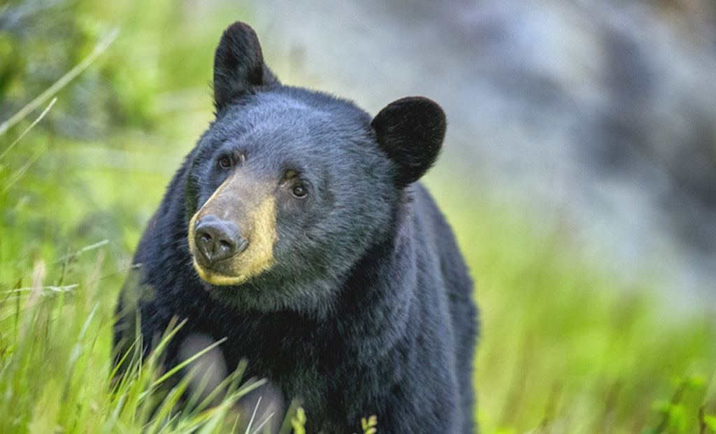 Pennsylvania Yields High Black Bear Harvest in 2020