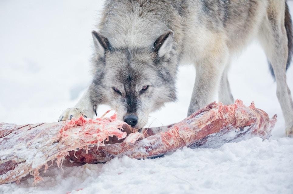 Action Taken Against Stock Killing Wolves in Oregon