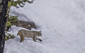 Hunting Late-Season Bobcats