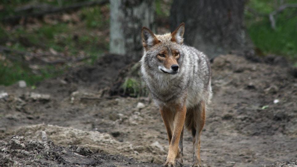 Partner Up to Kill More Predators