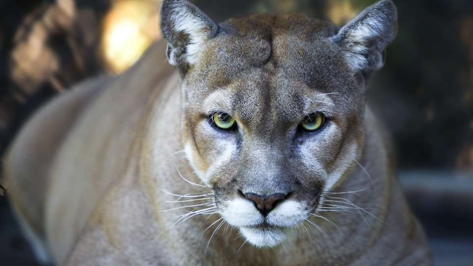 The Myth of the Eastern Cougar