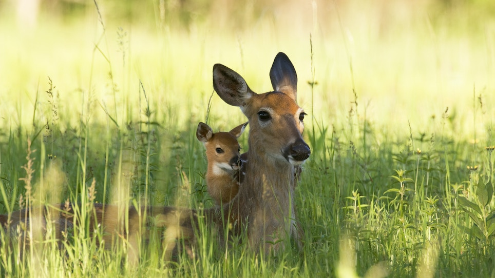 Coyotes Eat Fawns, But Rain (Yes Rain!) Is a Threat to Deer Too