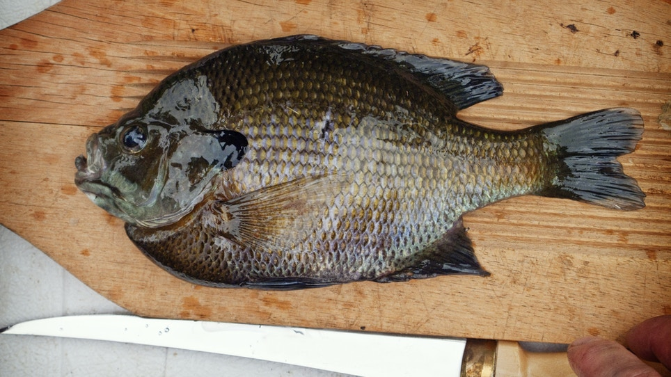 How to fillet a panfish
