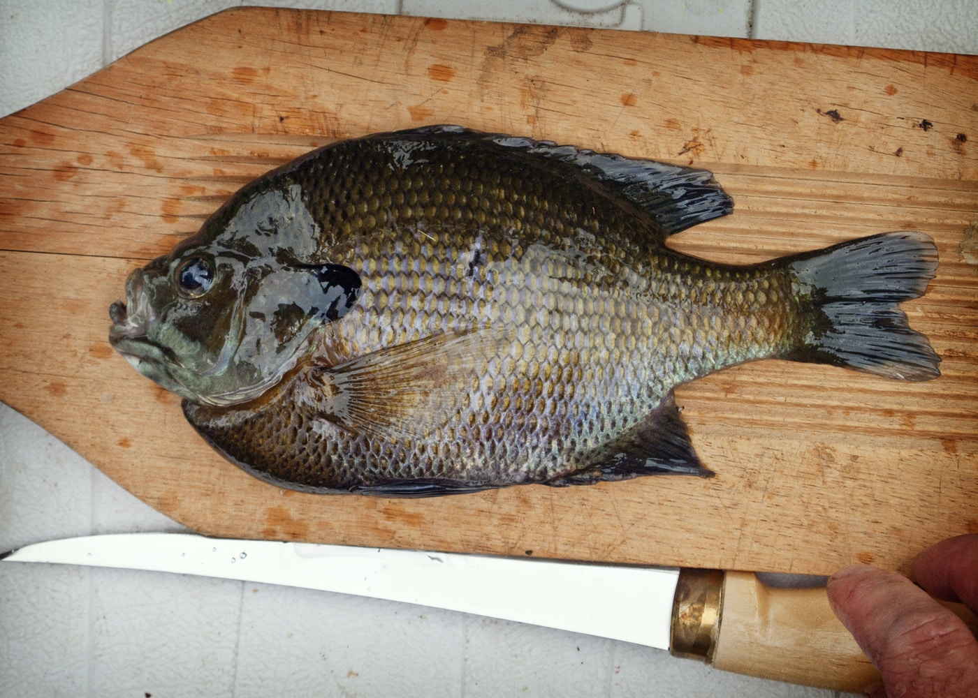 Fillet a Bluegill
