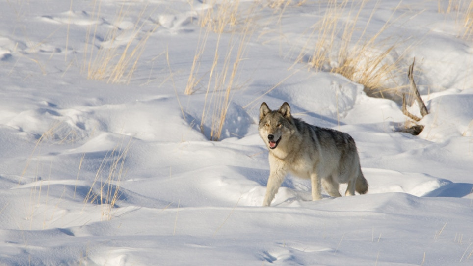 Wisconsin Wolf Season a Success