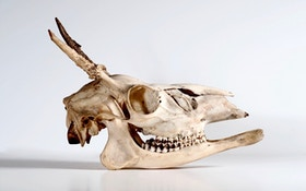 Most weird deer antlers are not caused by genetics