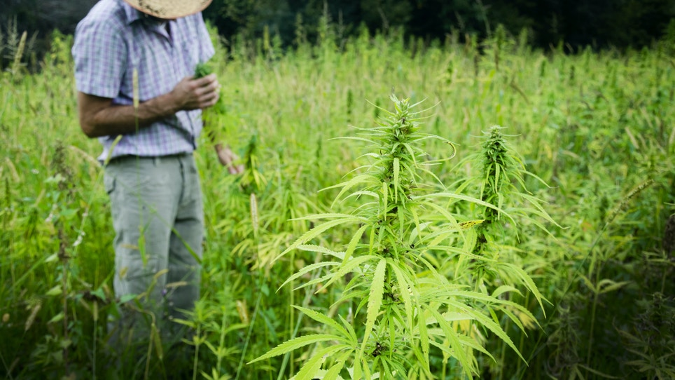 Deer hunters are putting in marijuana food plots this spring