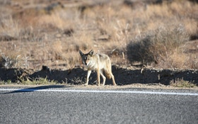 Why hunting coyotes near highways works