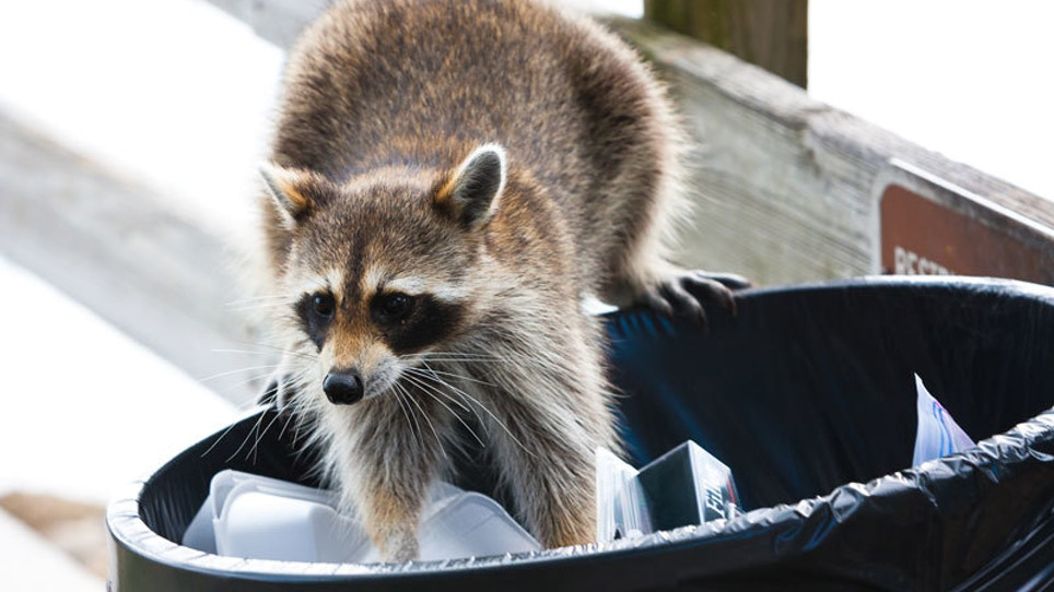 Critter Control: How To Trap Raccoons