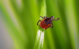 Ticks Threaten Hunters With New Tick-Borne, Red-Meat Allergy