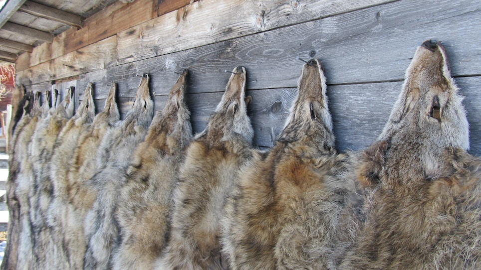 New Mexico Hunters May Lose Their Right To Trap Predators