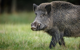 Hog Wild: Why Bowhunters Should Set Their Sights On Feral Pigs