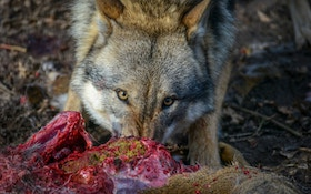Federal Court Removes Wyoming Wolves From Endangered Species Act