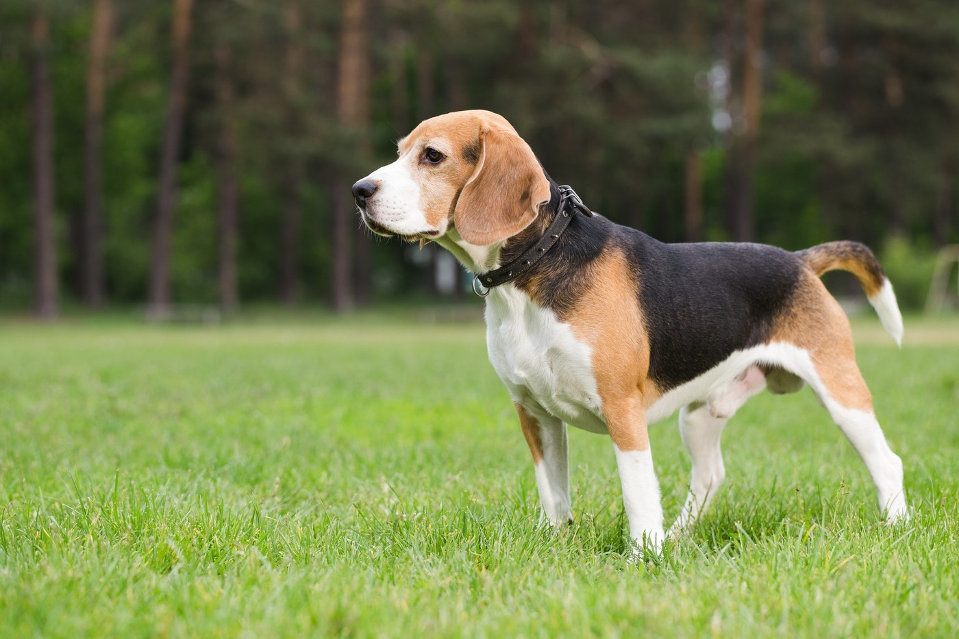 8 Cool Facts You Didn T Know About Beagles Grand View Outdoors