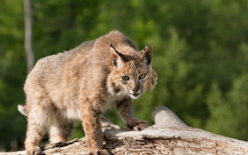 How Many Bobcats are Out There?