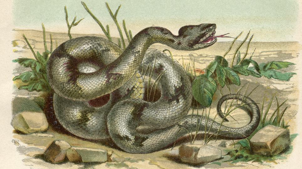 Top 10 Venomous Snakes in North America