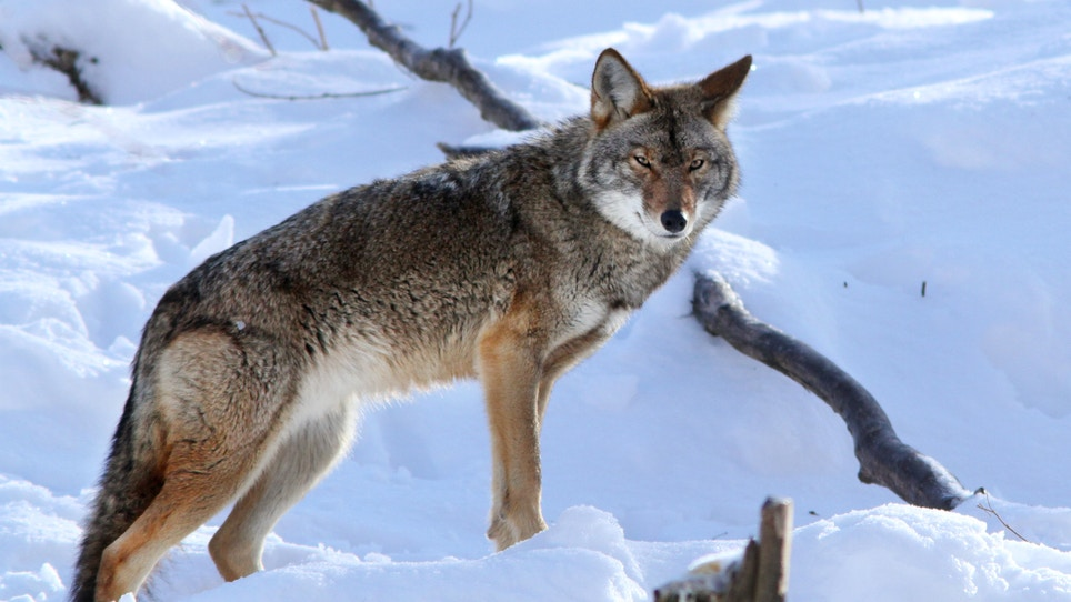 Tips for Bagging Eastern Coyotes