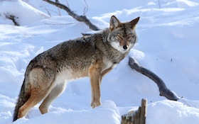 Is the .25-06 an Overlooked Caliber for Hunting Coyotes?