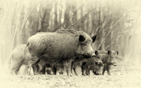 Just How Deadly Is a Wild Boar?