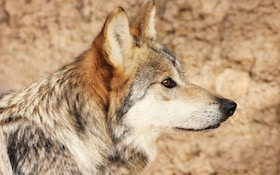 Is the Mexican gray wolf coming off the ESA?