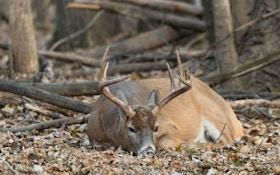 Where do deer sleep?