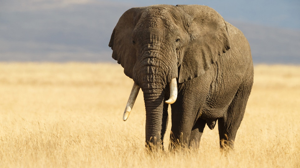 Trump to reverse ban on import of African elephant trophies