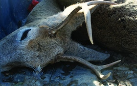Poachers Caught When Undead Whitetail Deer Wakes Up in Truck