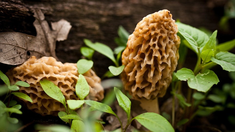 How to Make the Most of Morel Mushroom Season