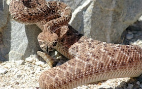 The Truth About Rattlesnakes