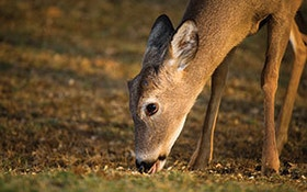 When Do Deer Take The Bait?