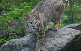 Animal Rights Group Seeks Halt To U.S. Exports Of Bobcat, Wolf Pelt