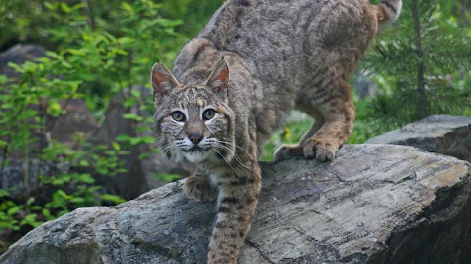 Animal Rights Group Seeks Halt To U.S. Exports Of Bobcat, Wolf Pelt