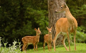 Why Deer Herds Are Declining